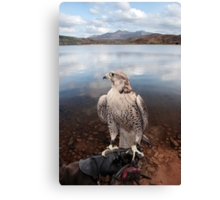 falcon perched on gloved hand with lake scene Canvas Print