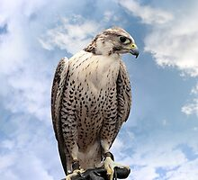 falcon perched on leather glove by morrbyte