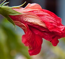 Hibiscus Bud by Jay Reed