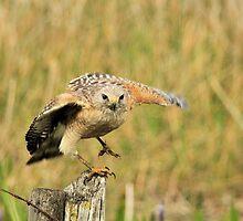 Red Shoulder Hawk Taking Flight by Kim McClain Gregal
