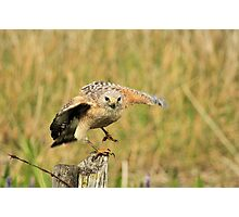 Red Shoulder Hawk Taking Flight Photographic Print