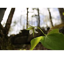 """Trillium, """"Each flower is a soul blossoming out to nature""""- Gerard de Nerval Photographic Print"""