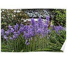 Bluebells at Home Poster