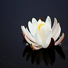 *White Lily Reflection* by DeeZ (D L Honeycutt)