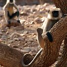 Langur Monkey in Tree Ranthambore by SerenaB
