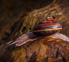PACIFIC SIDEBAND SNAIL by Sandy Stewart
