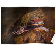 PACIFIC SIDEBAND SNAIL Poster