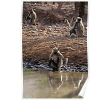 Langur Monkeys at Waterhole Ranthambore Poster