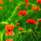 poppies by Sonia de Macedo-Stewart