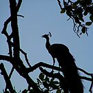 Silhouette of Peacock in Tree Ranthambore by SerenaB