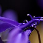 Droplets in Aquilegia by PhotoTamara