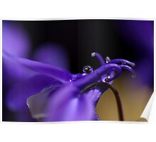 Droplets in Aquilegia Poster