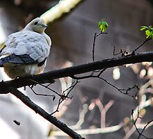 Pied Imperial Pigeon by Rebecca Reist