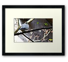 Pied Imperial Pigeon Framed Print