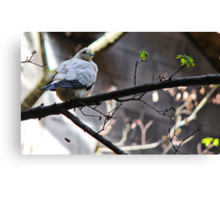 Pied Imperial Pigeon Canvas Print