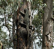 Tree Goanna, Springwood, Australia by muz2142