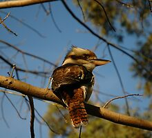 Kookaburra In Tree No.2,Sydney,Australia 2005 by muz2142
