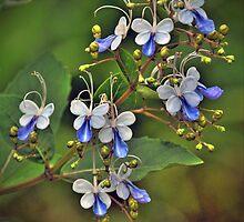 Clerodendrum ugandense by Savannah Gibbs