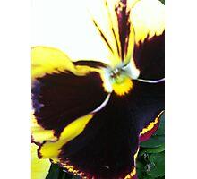 Pansy yellow Photographic Print