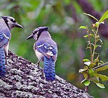 Blue Jays by Savannah Gibbs