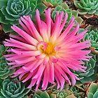 Pink Dahlia  by kahoutek24