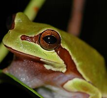 Pine Barrens Treefrog by Michael L Dye