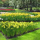 Golden Springtime - Keukenhof Gardens by BlueMoonRose