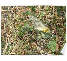 A Yellow White Butterfly? Poster
