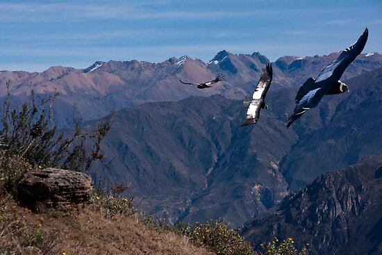 condors of peru by gruntpig