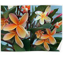 Coloured Frangipanni Flowers Poster