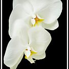 White Orchid by KBritt