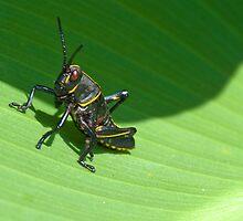 Baby Grasshopper by imagetj