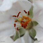 Dreamy apple blossom stamens by Photos - Pauline Wherrell