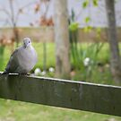 Pigeon sitting on Fence  by AmandaJanePhoto