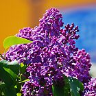 Common lilac by heinrich