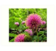 Sensitive Briar - A Texas Wildflower Art Print