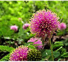 Sensitive Briar - A Texas Wildflower Photographic Print