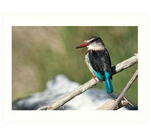 The Brown-hooded Kingfisher (Halcyon albiventris)   2 Art Print