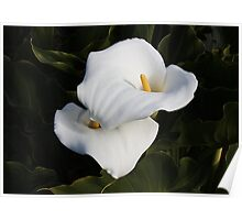 Unblemished Calla Lilies Poster