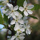 Blossoms of Morello Cherry by karina5