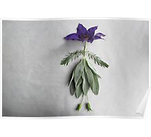 Clematis Lady Poster