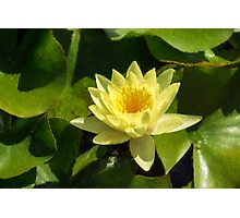 Soft Sunny Yellow - A Waterlily Impression Photographic Print