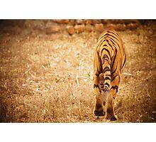 Save Tiger Photographic Print