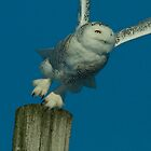 Adult Female Snowy Owl Beginning Her Day by Bryan Shane
