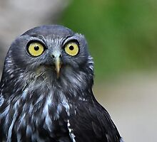 Barking Owl by gmws