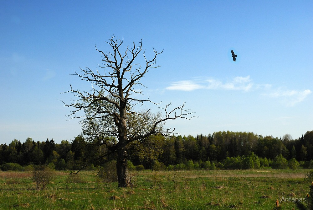 Lonely oak in spring time by Antanas