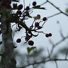 Branches and berries  by JenHodgson