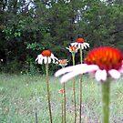 Texas Wildflower - Coneflower by aprilann