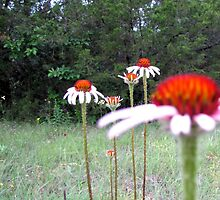 Texas Wildflower - Coneflower by aprilann