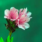 Pink Azaleas by marymdmed